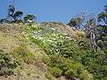 Agapanthus praecox orientalis Willd. (AM AK289253-4).jpg