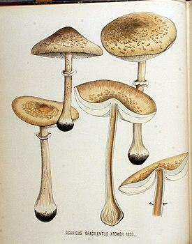 Agaricus gracilentus — Flora Batava — Volume v18.jpg