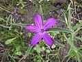 Agrostemma githago flower 1 AB.jpg