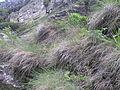 Agrostion alpinae5.JPG