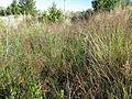 Agrostis stolonifera (7641704294).jpg
