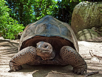 Aldabra giant tortoise - A. gigantea on Moyenne (Seychelles, March 2016)