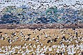 Aleutian and snow geese at San Joaquin National Wildlife Refuge (24879830918).jpg