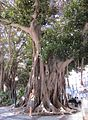 Alicante Giant old tree.JPG