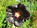 Almost black flower - geograph.org.uk - 573413.jpg