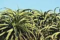 Aloe bainesii, Victoria Esplanade Park (5).jpg