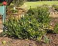 Aloe commixta rambling aloe Cape town garden.jpg