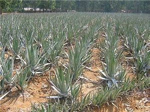 English: Aloe vera fields