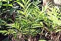 Alpinia purpurata 25zz.jpg