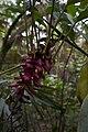 Alpinia purpurata growth Belize Zoo.jpg