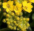 Alyssum montanum ENBLA07.jpg
