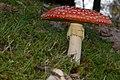 Amanita muscaria (29791638190).jpg