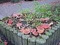 Amanita muscaria large group.jpg