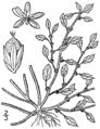 Amaranthus crispus BB-1913.png