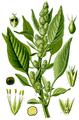 Amaranthus retroflexus, Thomé 1885-0.png