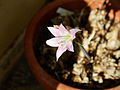Amaryllis belladonna-IMG 9474.jpg
