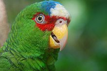 Amazona albifrons -upper body-8a.jpg