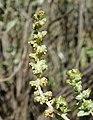 Ambrosia chenopodiifolia 2.jpg