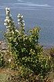 Amelanchier alnifolia 6335.JPG