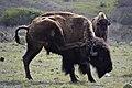 American Bison (Bison bison) Catalina (2) 01.jpg