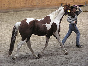 Skewbald - A skewbald horse, chestnut with white patches