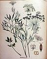 Ammi majus — Flora Batava — Volume v16.jpg