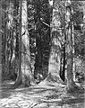 "Among the ""Seven Sisters"" Big Trees, Stanley Park, Vancouver, B.C. (13928406780).jpg"