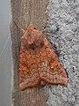 Amphipoea sp. - Saskatoon, Saskatchewan 2014-08-08.jpg