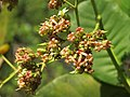 Anacardium occidentale - cashew tree -cashew nut flowers at Peravoor.jpg
