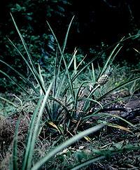 Ananas nanus - habitat 1
