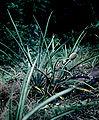 Ananas nanus - habitat 1.jpg
