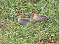 Anas luzonica, Candaba Marsh, Luzon 2.jpg