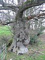 Ancient oak near Parnham - geograph.org.uk - 94127.jpg