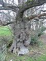 Ancient oak near Parnham - geograph.org.uk - 94127.jpg