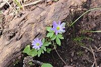 Anemonoides caucasica 51248201.jpg