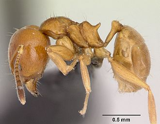 Aneuretinae - Aneuretus simoni (Sri Lankan relict ant), the sole extant member of the subfamily