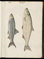 Animal drawings collected by Felix Platter, p1 - (182).jpg