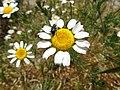 Anthemis arvensis.002 - Ponferrada.jpg