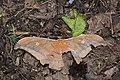 Antheraea formosana (35034999536).jpg