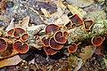 Anthracophyllum lateritium (Berk. & M.A. Curtis) Singer 862649.jpg