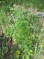 Anthriscus cerefolium var. longirostris sl6.jpg