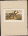 Antilope picta - 1874 - Print - Iconographia Zoologica - Special Collections University of Amsterdam - UBA01 IZ21400193.tif