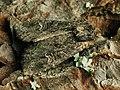 Apamea unanimis - Small clouded brindle - Полевая совка грязно-бурая (40222692725).jpg