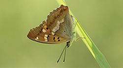Apatura metis - Nature Conservation-001-073-g032.jpg