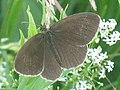 Aphantopus hyperantus - The Ringlet - Желтоглазка (41165749281).jpg
