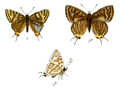 AphnaeusSchistacea 733 3 Knight.png