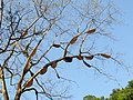 Apis dorsata - Giant honey bee on Tetrameles nudiflora on Makuta Virajpet road (9).jpg