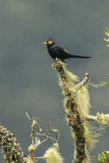Apo myna species of bird
