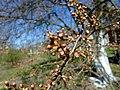 Apple tree spring.JPG