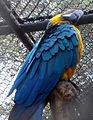 Ara ararauna macaw IGZoopark Visakhapatnam 02.JPG
